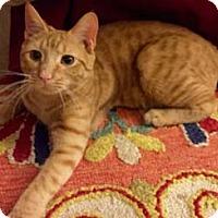 Adopt A Pet :: Tiger - Merrifield, VA