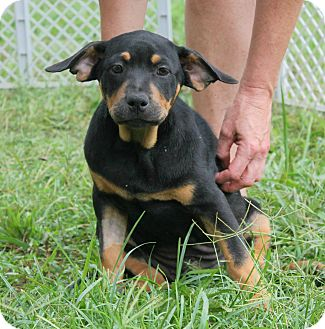 American Bulldog/Hound (Unknown Type) Mix Puppy for adoption in FOSTER, Rhode Island - Mary Ann