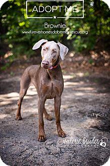 Doberman Pinscher Dog for adoption in Bath, Pennsylvania - Brownie