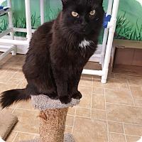 Domestic Longhair Cat for adoption in Cody, Wyoming - Macaroni