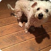 Adopt A Pet :: Shotsie - Pataskala, OH
