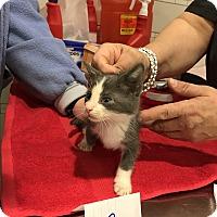 Adopt A Pet :: Kitten C - millville, NJ