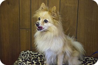 Pomeranian Mix Puppy for adoption in Tavares, Florida - Handsome Harry