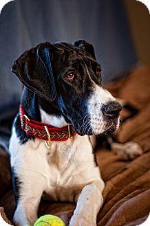 Great Dane Dog for adoption in Virginia Beach, Virginia - Misha