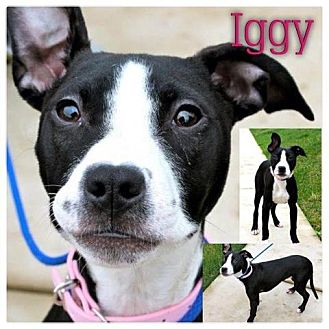 American Pit Bull Terrier Mix Dog for adoption in Garden City, Michigan - Iggy