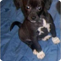 Adopt A Pet :: DIXIE - Rossford, OH