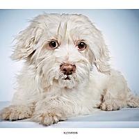 Adopt A Pet :: Alessandra - New York, NY
