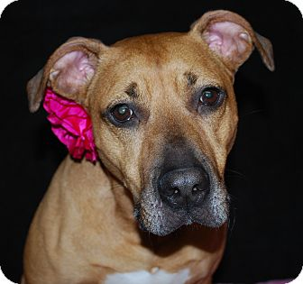 American Staffordshire Terrier/Bullmastiff Mix Dog for adoption in Waupaca, Wisconsin - Lexi