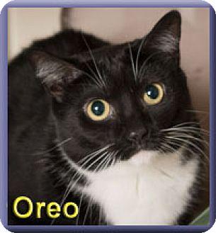 Domestic Shorthair Cat for adoption in Aldie, Virginia - Oreo