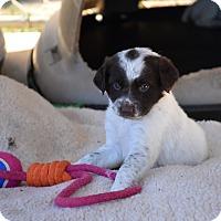 Adopt A Pet :: Chica - Groton, MA