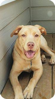 Labrador Retriever Mix Dog for adoption in Jasper, Georgia - Petra