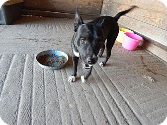 Labrador Retriever/Retriever (Unknown Type) Mix Dog for adoption in Cuero, Texas - Sneaker