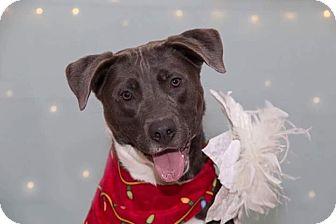 Boxer/Terrier (Unknown Type, Medium) Mix Dog for adoption in Flint, Michigan - Haley