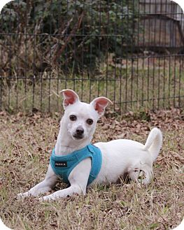 Chihuahua Mix Dog for adoption in Warner Robins, Georgia - Luke