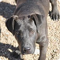 Adopt A Pet :: Beast - Hooksett, NH
