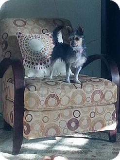 Terrier (Unknown Type, Medium) Mix Dog for adoption in Dallas, Texas - zzSadie
