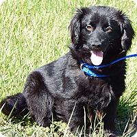 Adopt A Pet :: Thelma (11 lb) Perfect Girl - Niagara Falls, NY
