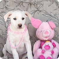 Adopt A Pet :: Pimento - Chandler, AZ