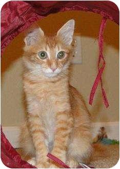 Maine Coon Kitten for adoption in Orlando, Florida - Finn