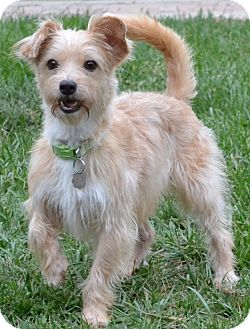 Cairn Terrier Mix Dog for adoption in Simi Valley, California - Mickey