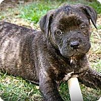 Adopt A Pet :: Chip - Cypress, CA
