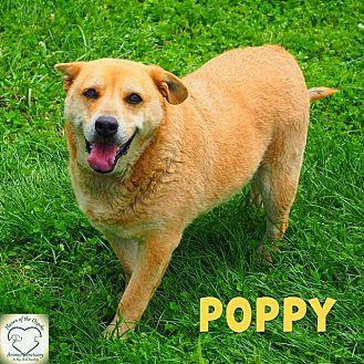 Shepherd (Unknown Type)/Australian Cattle Dog Mix Dog for adoption in Washburn, Missouri - Poppy