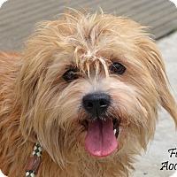 Adopt A Pet :: Furby - Norwalk, CT