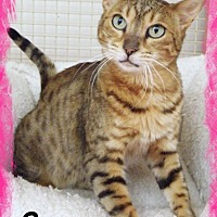 Bengal Cat for adoption in Anaheim Hills, California - Sassy