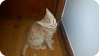 Domestic Shorthair Cat for adoption in Warren, Michigan - Rags