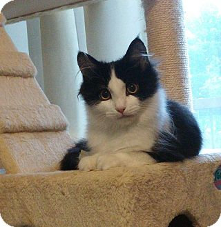 Domestic Mediumhair Kitten for adoption in Colmar, Pennsylvania - Malina