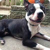 Adopt A Pet :: Pirate - Cumberland, MD