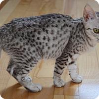 Adopt A Pet :: Kenza - Davis, CA