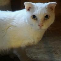 Adopt A Pet :: Magdalena (pure teddy bear) - Witter, AR