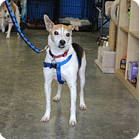 Fox Terrier (Smooth)/Jack Russell Terrier Mix Dog for adoption in Humble, Texas - Elliott