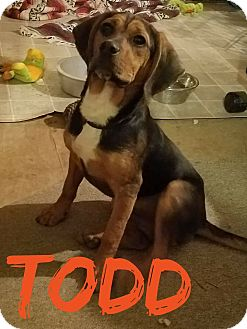 Bloodhound Mix Dog for adoption in WESTMINSTER, Maryland - Todd