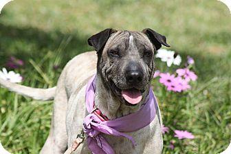 Greyhound/Shar Pei Mix Dog for adoption in Irvine, California - Sohie