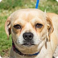 Adopt A Pet :: Ivy - Daleville, AL