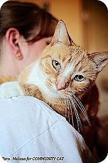 Domestic Shorthair Cat for adoption in Whitewater, Wisconsin - Jimmy