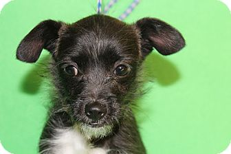 Terrier (Unknown Type, Small) Mix Puppy for adoption in Broomfield, Colorado - Maude