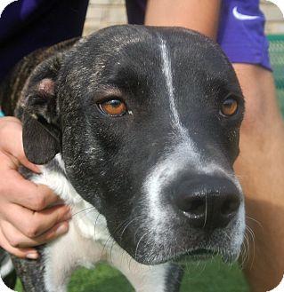 American Pit Bull Terrier Mix Dog for adoption in white settlment, Texas - Duke