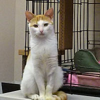 Adopt A Pet :: Scotchie - Belton, MO