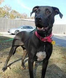 American Staffordshire Terrier/Labrador Retriever Mix Dog for adoption in Yukon, Oklahoma - Butterfly