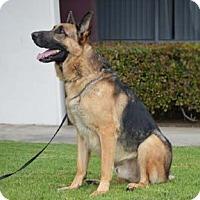 German Shepherd Dog Dog for adoption in San Diego, California - Kingston