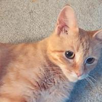 Adopt A Pet :: BASTET - Fenton, MO