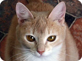 Domestic Shorthair Cat for adoption in Republic, Washington - Brooklyn