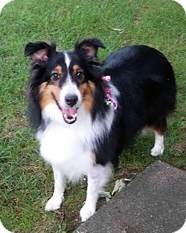 Sheltie, Shetland Sheepdog Dog for adoption in Pittsburgh, Pennsylvania - MAISIE - ADOPTED