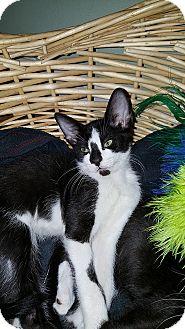 Domestic Shorthair Kitten for adoption in Tampa, Florida - Logan