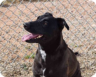 Labrador Retriever/Shepherd (Unknown Type) Mix Dog for adoption in Sierra Vista, Arizona - Bella