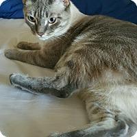 Siamese Cat for adoption in Putnam Hall, Florida - Bentley