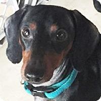 Adopt A Pet :: Bozzo Bitewing - Houston, TX